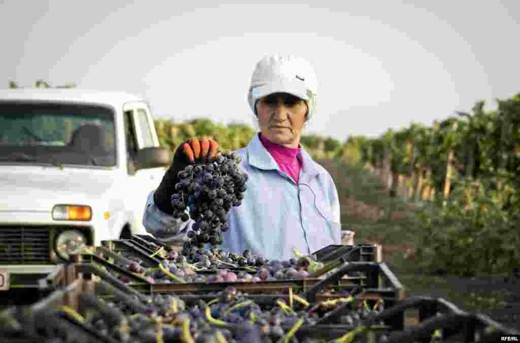 Ümumilikdə rayonda bu il üçün 1512 hektar üzüm bağı var.