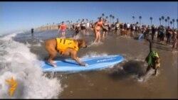 Собачий серфінг у Каліфорнії