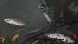 Казанның Җиңү паркындагы күлдә балыклар күпләп үлә, Чуйков күлен күсе баскан