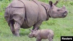 Индийският носорог е наричан също и еднорог носорог.