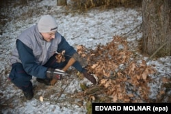 A Serbian man cuts branches from an oak tree for Orthodox Christmas celebrations.