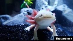 Axolotl, peștele mergător mexican