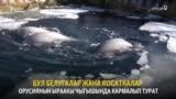Орусия: капастагы косатка