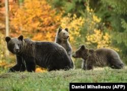 În România se află cea mai mare populație de urși din Uniunea Europeană