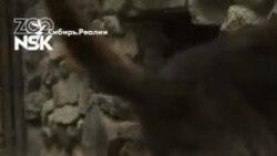 Новосибирский зоопарк снял видео с новорожденными волчатами