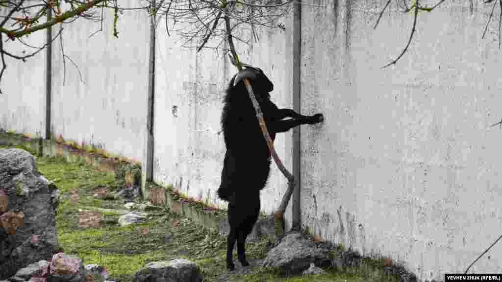 Досвідчений козел чеше роги об дерево