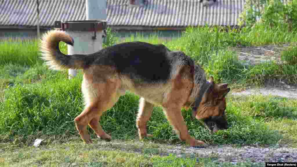 Самостоятельно прогуливающаяся по улице овчарка несет в зубах камень