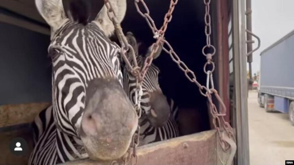دومین گورخر آفریقایی در باغ وحش صفادشت تلف شد