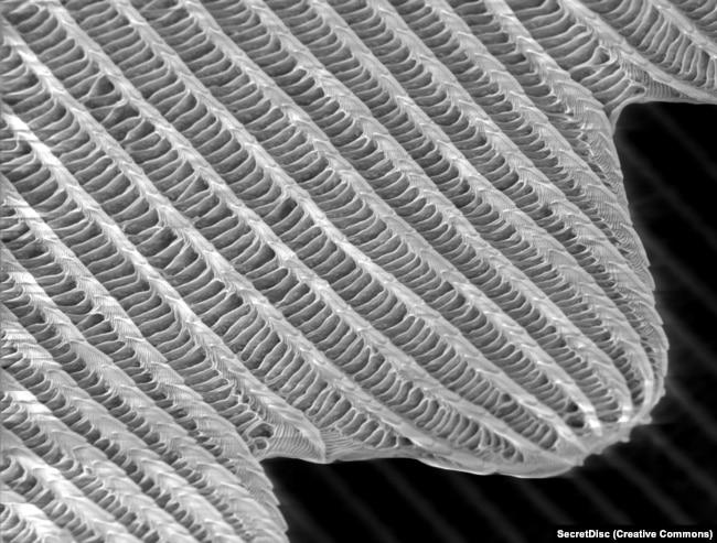Një pamje nga afërsia e madhe e majës së një luspe të krahut të fluturës, e cila shfaq strukturën e rrjetëzuar, e cila është unike në secilën luspë. Gjatë studimit të kësaj thurime, hulumtuesit beogradas zbuluan potencialin për një sistem të pathyeshëm të sigurisë.