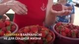 Клубника помогает выжить пенсионерам Байкальска