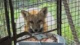 Život sibirskih lisica iza žice