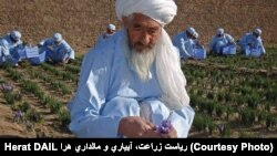 Mohammad Akbar at his saffron farm (file photo).