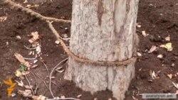 Կասկադի տարածքում չորս ծառ չորացել. ծառարմատները փորված են
