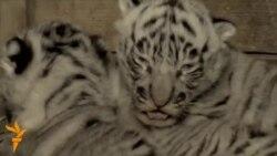 У Грузії у тбіліському зоопарку тигриця білого бенгальського тигра народила трьох дитинчат