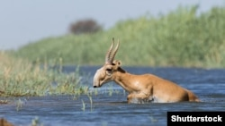 Krivolov na kazahstansku sajga antilopu