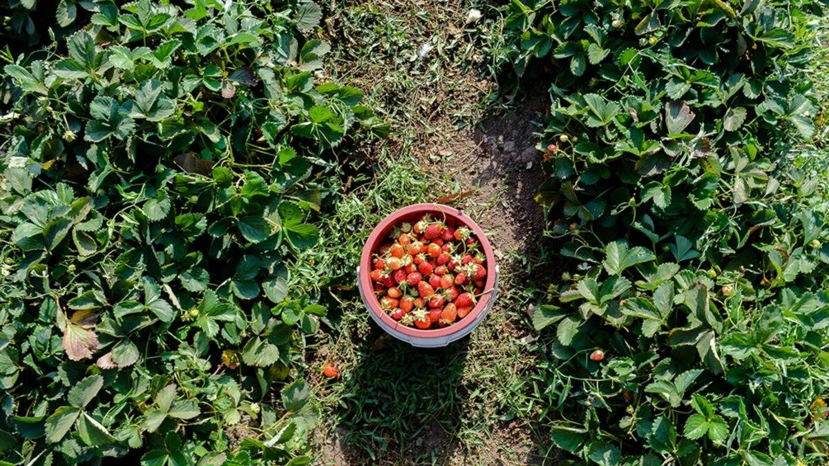 Цены на фрукты и ягоды в Украине находятся на исторически высоком уровне – ассоциация