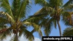 Какосавая пальма