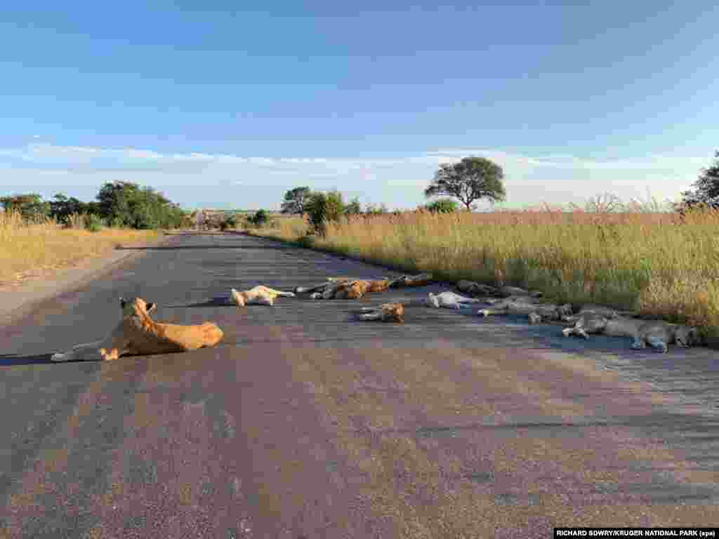 Lions sleep across an empty road in Kruger National Park, South Africa, on April 15.