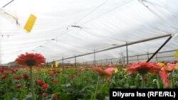 Выращиваемые в теплицах Шымкента цветы. Иллюстративное фото.