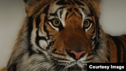ببری، ببر بنگال ماده باغ وحش تهران که به بیماری صرع مبتلا بود، عکس از علیرضا شهرداری