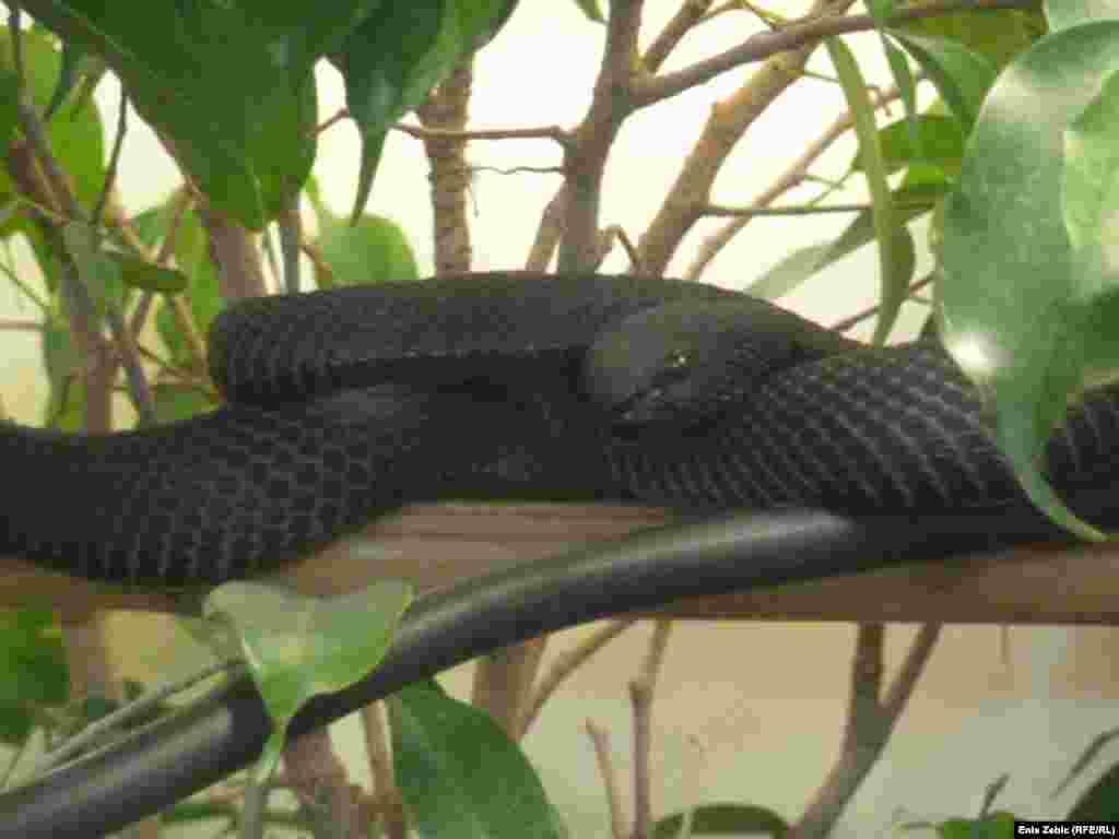 A mangrove pit viper