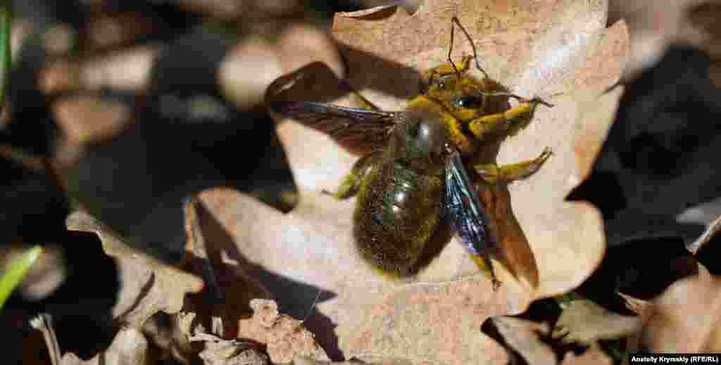 Бджола-тесляр до приземлення на дубовий листок облітала проліски. Комаха занесена до Червоної книги України
