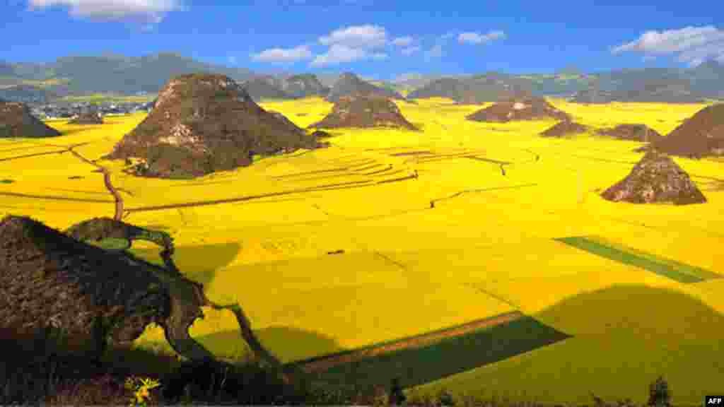 Rapeseed plants in full bloom and ready for harvest in the farms in Luoping, in China's southwestern Yunnan province. (AFP)