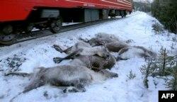 Северная Норвегия. Погибшие северные олени возле железнодорожного полотна