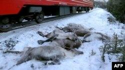 Северная Норвегия. Погибшие северные олени возле железнодорожного полотна.