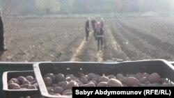 Кулдар картошка талаасында иштешкен