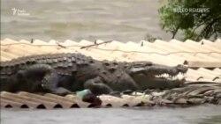 Крокодил врятувався від повені в Індії на даху будинку – відео