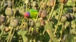 Папуги-наркомани тероризують індійські ферми – відео