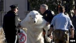 Активиста Greenpeace, одетого белым медведем в знак протеста против политики США в области борьбы с глобальным потеплением, уводит полиция