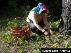 Ілюстраційне фото. Збір грибів в Білорусі