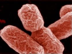 Антибиотикти тоготпогон бактериядан шыпаа табылды
