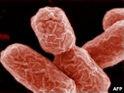 Ичти өткөргөн E. coli бактериясы.