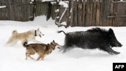 Гончие собаки загоняют кабана. (Иллюстративное фото).