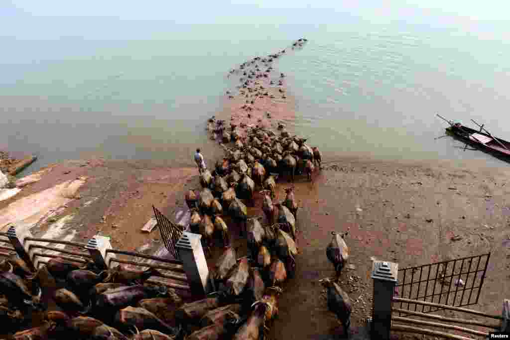 A Chinese man watches buffalo cross a river as they head to another grazing area in Nanchong, Sichuan Province. (Reuters)