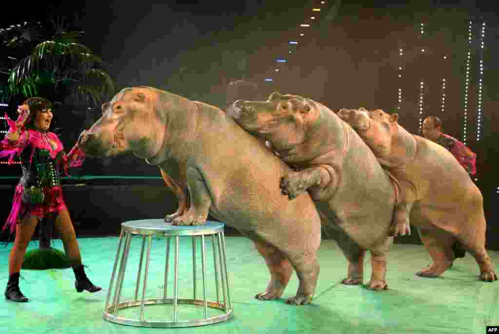 Ludmila (left) and Tofig Akhundov perform with their hippopotamuses in a circus in Minsk, Belarus. (AFP/Viktor Drachev)