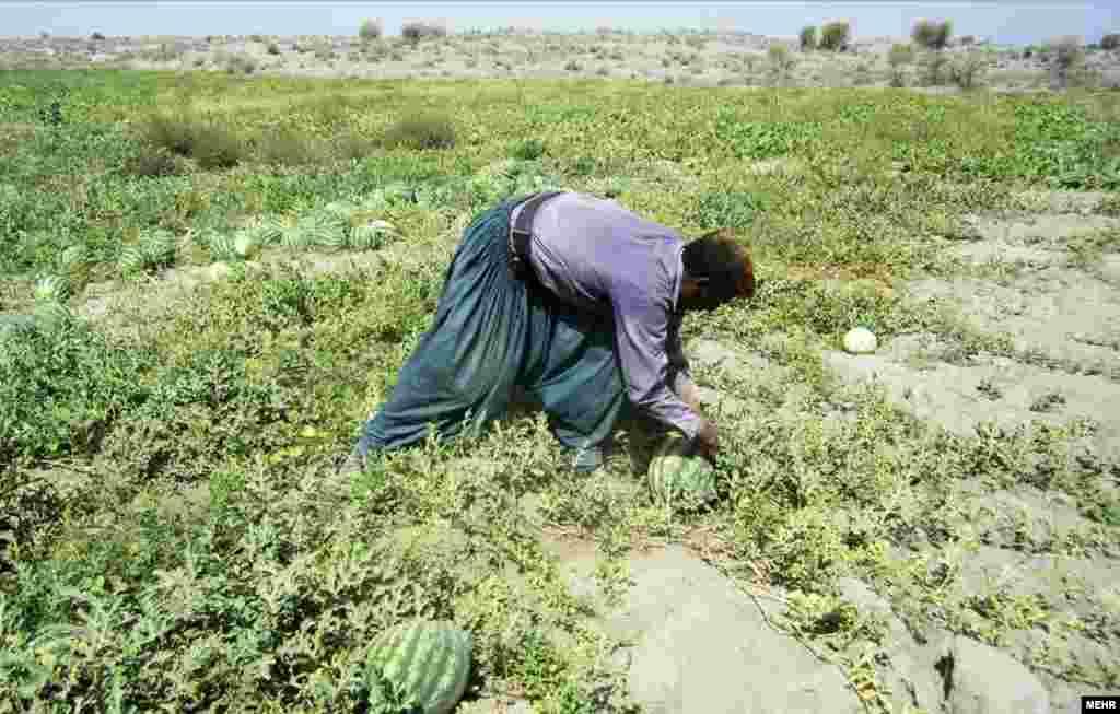 برداشت هندوانه بهاره از مزارع استان هرمزگان