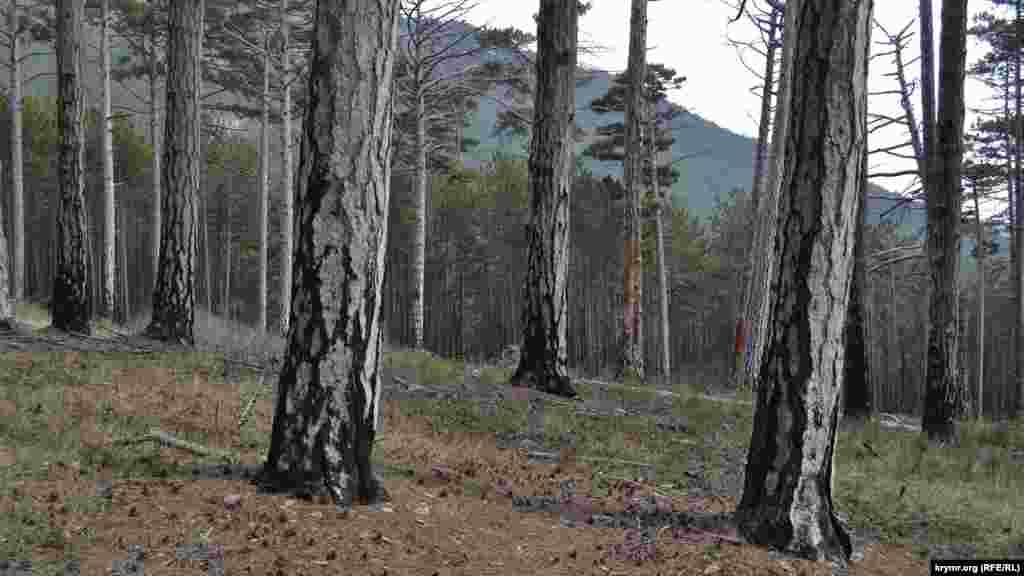 У цьому місці кілька років тому горіла лісова підстилка, її вдалося вчасно загасити. Дерева вижили, проте сліди вогню залишилися