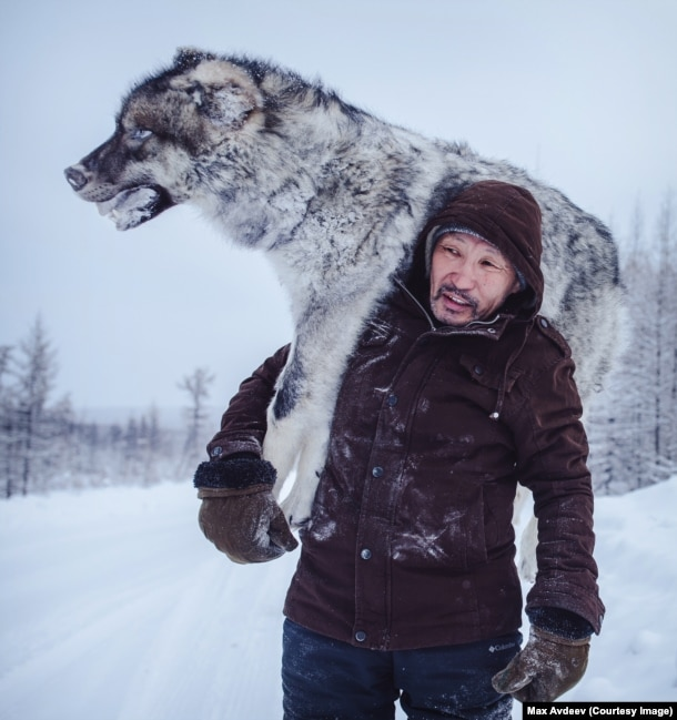 """""""Why did he kill him?"""" one Instagram user asked when Russian photographer Maksim Avdeyev posted this image of a Siberian trucker with a frozen wolf. Avdeyev explains that the truckers who drive this road had shot the wolf a few days before. With days of traveling ahead of them, they decided to bury the valuable carcass, and pick it up on their return journey. """"In Yakutia there's so much space you can store anything under the snow, you just need to place a GPS mark, or remember which tree,"""" he explains. """"The guys will give the wolf to the local authorities. There's a program in Yakutia where the authorities give money for [killed] wolves because they are dangerous to deer herders."""" For each wolf killed the local government pays around $500, a large sum in a region that often struggles to pay for education and infrastructure."""