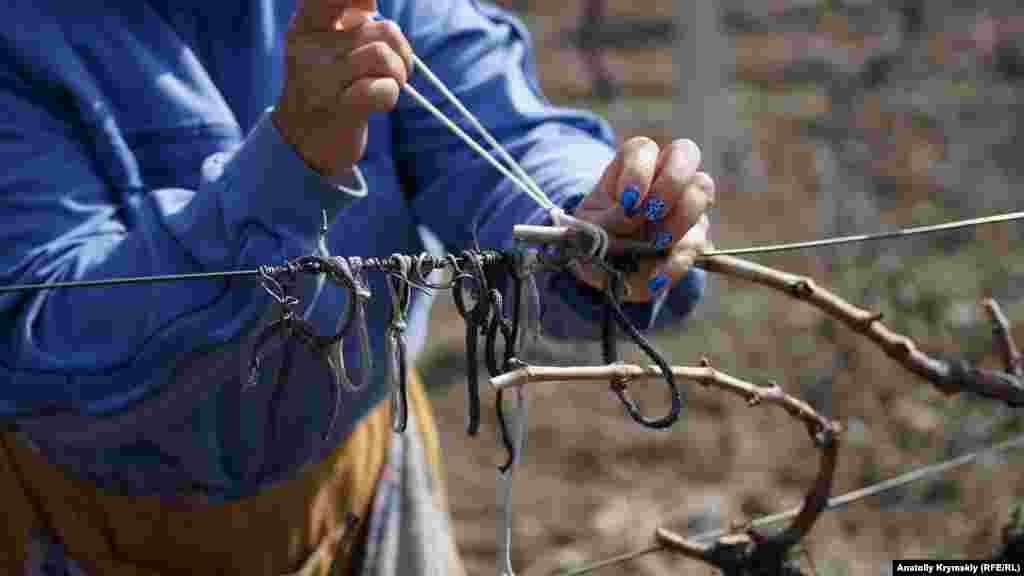 Підв'язка плодових ланок до дротяної шпалери вимагає певної вправності