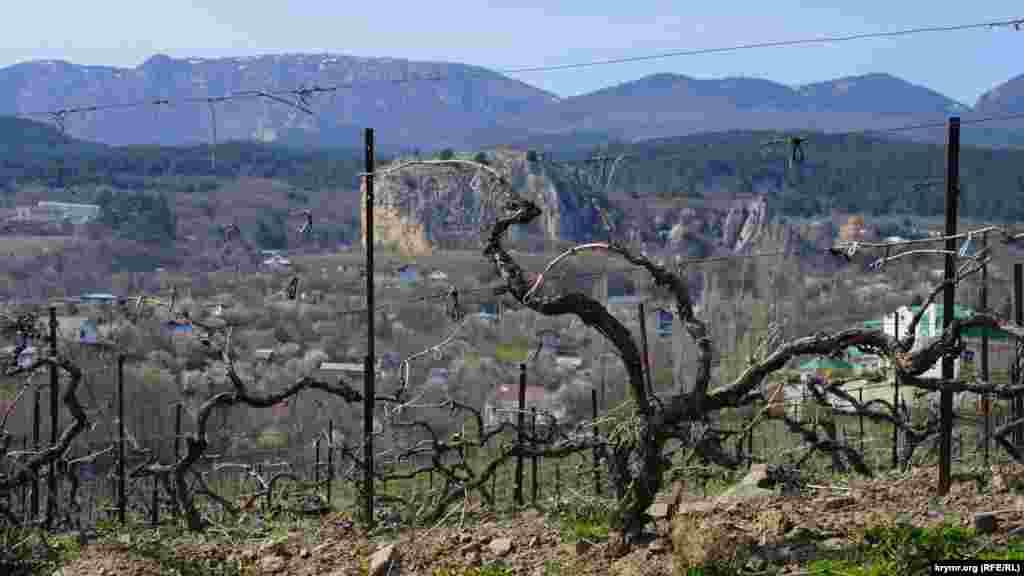 Головне надбання тутешніх місць – технічний виноград сорту Мускат білий – після професійної обрізки