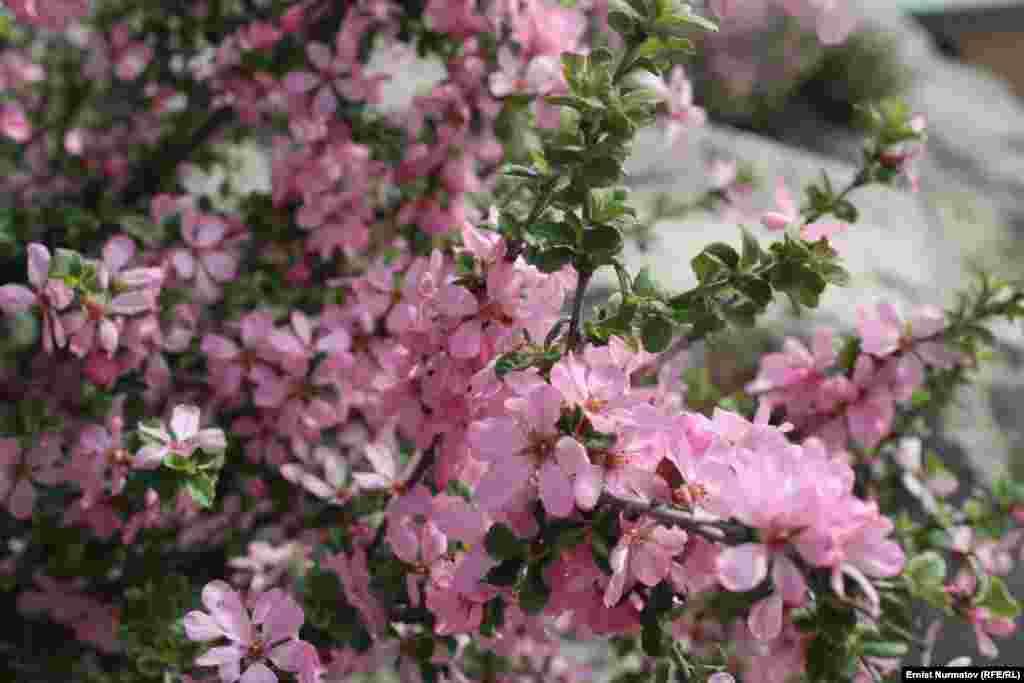 Ароматнейшие цветы персика