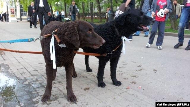 Белоленточные псы протеста на #оккупайабай