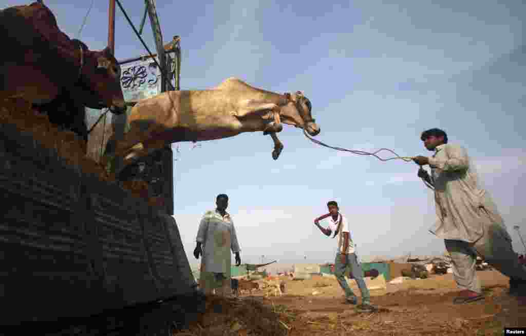 A cow jumps from the back of a truck after arriving at a cattle market on the outskirts of Karachi, Pakistan. (Reuters/Athar Hussain)