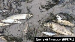 Молодь и взрослые особи сельди на берегу залива Пильтун. Остров Сахалин. Июнь 2018 года.