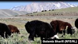 رمه گوسفندان از ییلاق نشینان در بامیان