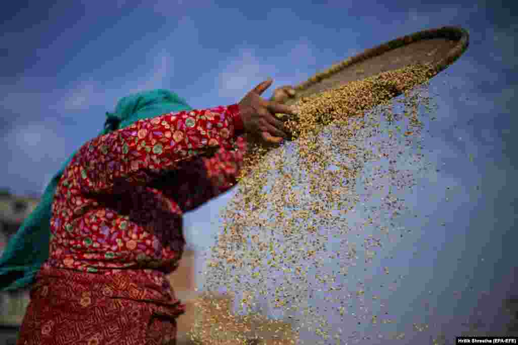 A Nepalese harvester works during rice harvesting at a field in Lalipur, Nepal. (EPA-EFE/Hritik Shrestha)